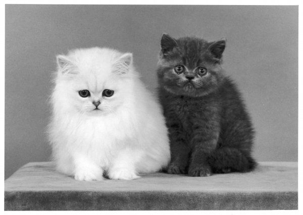 Two kittens, one a white chinchilla, the other a British shorthair blue
