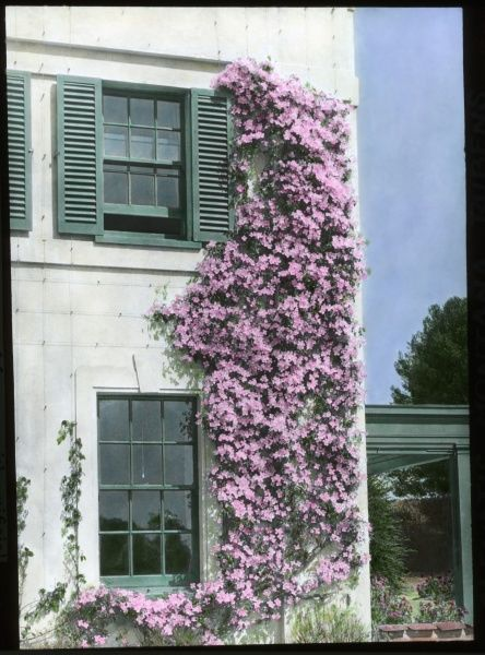 Clematis Montana Rubens, a hardy climbing plant of the buttercup family Ranunculaceae, with pink flowers. Seen here growing up the side of a house, contrasting nicely with the white walls and green shutters