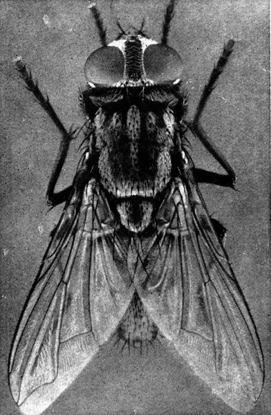 Photograph showing a close-up of a female house-fly, viewed from above, 1911