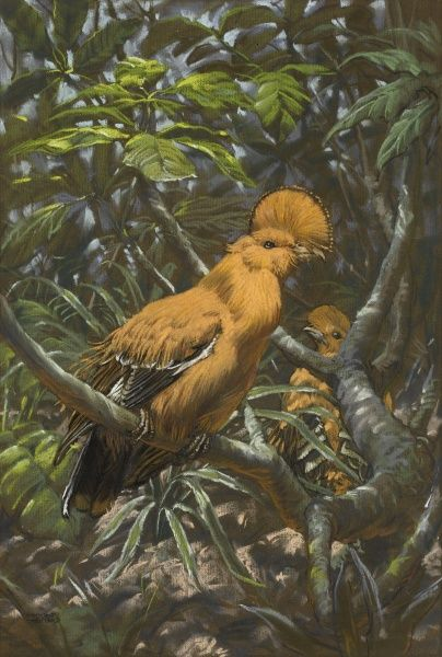 A Cock-of-the-rock (Rupicola rupicola) on a jungle perch. These exotic birds are found in Venezuela, Guyana and Surinam. Pastel drawing by Raymond Sheppard