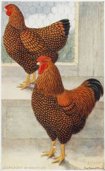 A fine postcard illustration of a cockerel and hen - Gold-laced Wyandottes