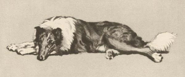 A collie dog relaxes
