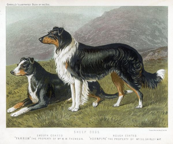 Two collies - rough and smooth-coated tricolour
