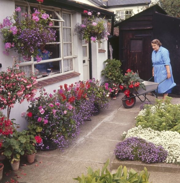 This woman knows how to create a colourful garden, as she wheels flowers in her wheelbarrow. Her patio is crammed with potted plants and hanging baskets galore. Date: 1960s