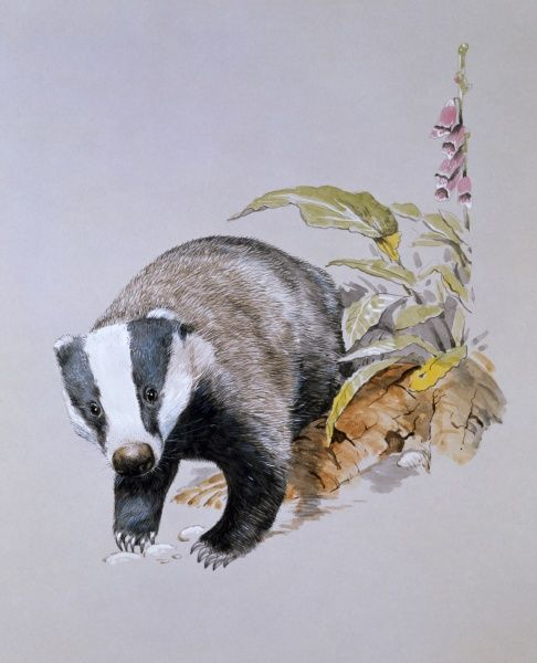 A Common Badger (Meles meles), emerging from the undergrowth. Painting by Malcolm Greensmith