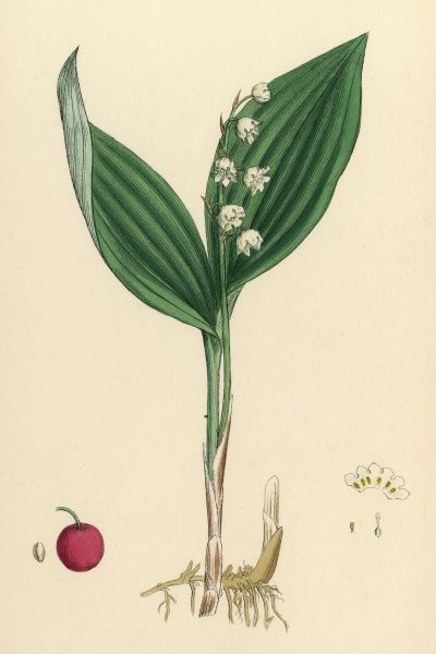 LILY OF THE VALLEY Date: 1869