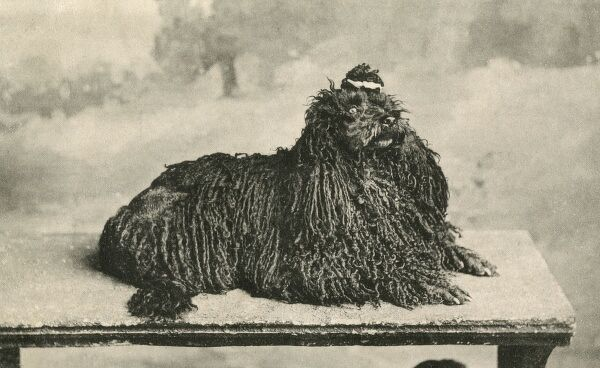 A slightly startled-looking Corded Poodle Date: 1906
