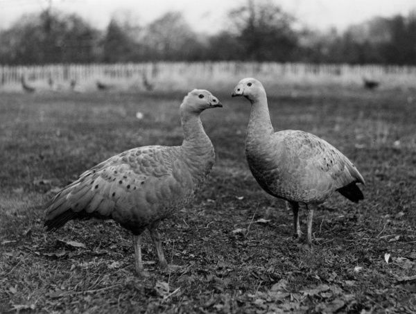 Coreopsis Geese - natives of Australia, the ones here were kept as pets at Hale, Cheshire, England. They are pugnacious and utter loud grunts deep than a pig! Date: 1950s