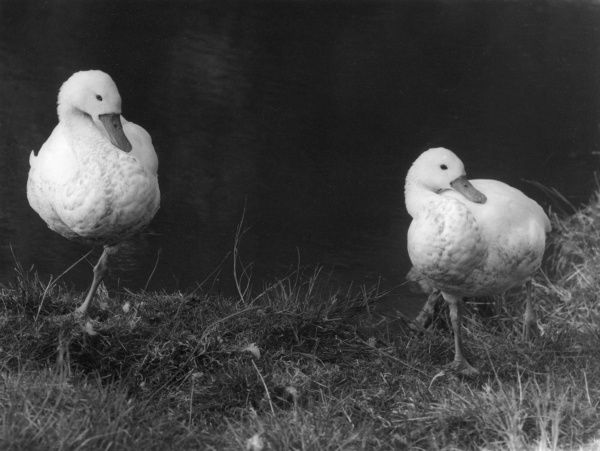 Two Coscoroba swans, native to South America, where it lives close to wetlands and marshes. Regarded by some as a species of duck rather than swan. Date: 1960s