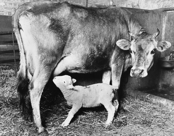 Buttercup the cow keeps a close watch on her foster child, one of ten motherless lambs whom she is mothering. Date: late 1960s