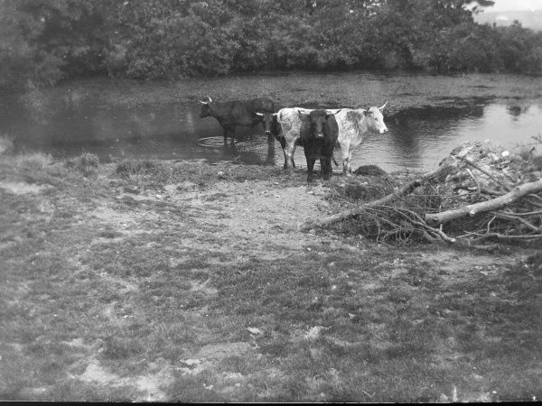 Cows at St Non's pond, St David's, Pembrokeshire, Dyfed, South Wales. According to tradition, St Non was the mother of St David