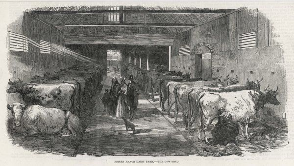 The cow shed at Friern Manor dairy farm, Hertfordshire