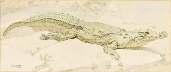A crocodile sunning itself on a riverbank. Crayon and watercolour sketch by Raymond Sheppard