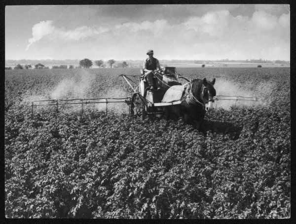A farmer uses horse-drawn machinery to spray main-crop potatoes with 'Bordeaux Mixture' as a preventative against late blight, on an Essex farm near Rickling