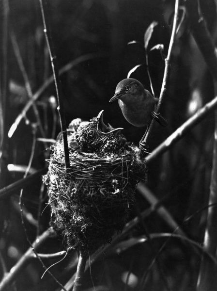 A young Cuckoo in the nest, with an unsuspecting Reed Warbler 'foster' parent feeding it. Date: 1950s