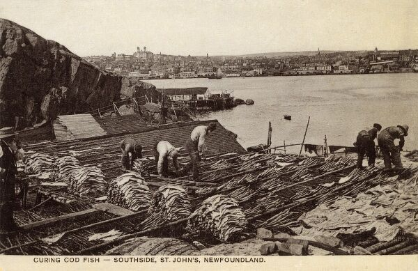 Curing Cod Fish - Southside, St. John's, Newfoundland, Canada Date: circa 1909