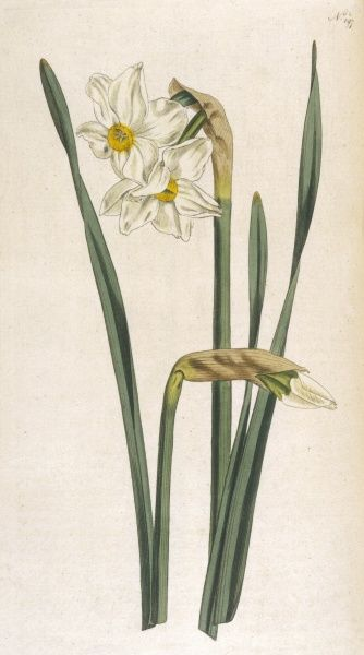 TWO FLOWERED NARCISSUS NARCISSUS BIFLORIS