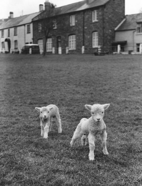Two cute lambs play together on a village green