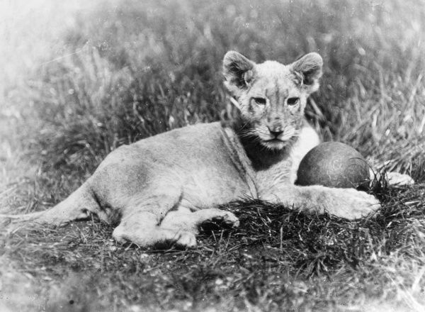 A lion cub with a ball between its front paws. Date: 1930s