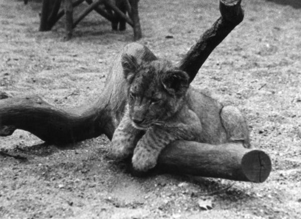 A cute lion cub reclining on a the branch of a tree. Date: 1930s