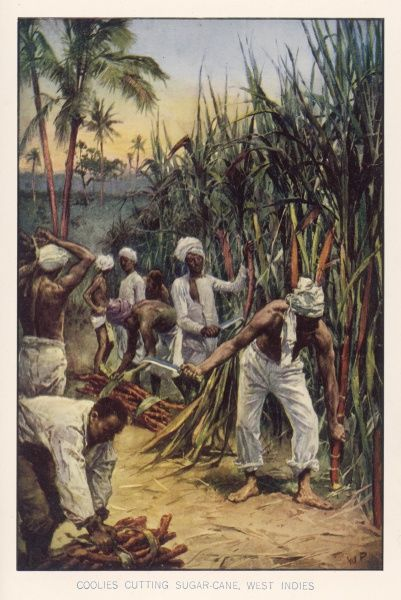 Workers in the West Indies cut sugar cane
