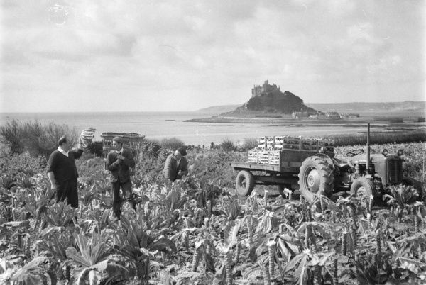 Three men in Cornwall cutting cauliflowers in the traditional manner and loading them onto a tractor, with St Michael's Mount in the background