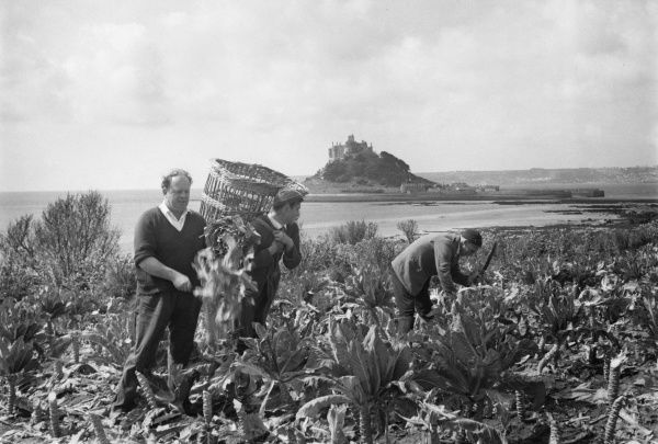 Three men in Cornwall cutting green vegetables in a field, with St Michael's Mount in the background. (2 of 2)
