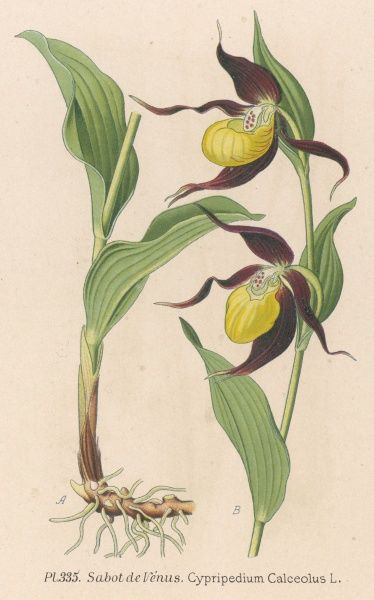 SLIPPER ORCHID (French) SABOT DE VENUS