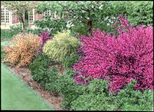 A border full of different coloured Cytisus (Broom)
