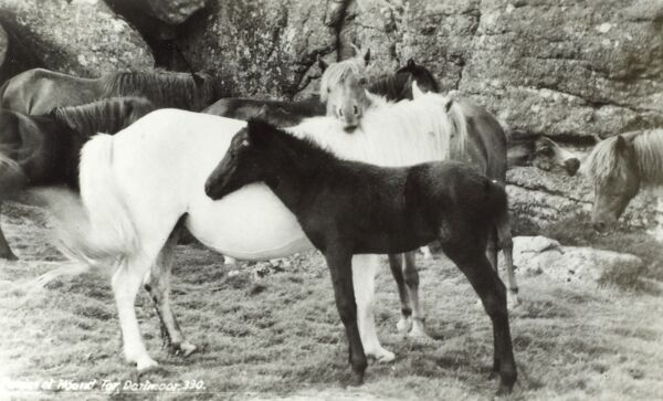 Dartmoor Ponies at Hound Tor (famed for ancient dwellings, graves and ghosts!) - now registered as a rare breed Date: circa 1930s