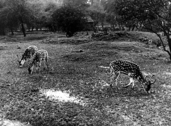 Axis or Chital Indian Spotted Deer grazing, a peaceful scene at Whipsnade Zoo, Bedfordshire, England. Date: 1940s