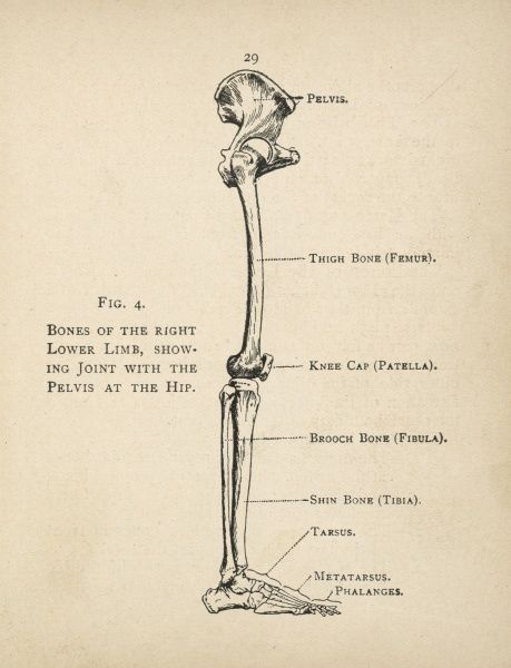 Diagram of the bones of the right leg, showing the joint with the pelvis at the hip