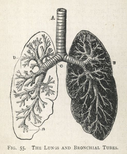 A diagram of the lungs and bronchial tubes, with a section of the windpipe