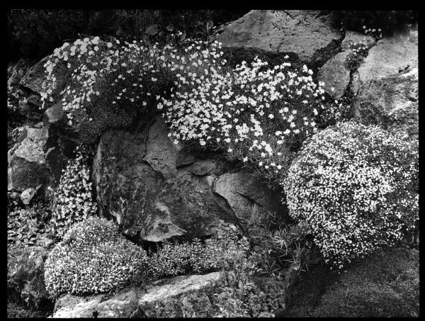 An array of Dianthus on an outcrop. It is a flowering plant of the Caryophyllaceae family, with many species