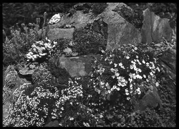 An array of Dianthus in a rocky setting. It is a flowering plant of the Caryophyllaceae family, with many species