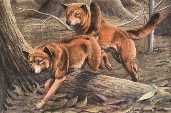 Dingoes, leap over a tree root a forest, their coats are redish brown with tints of black Date: 20th century
