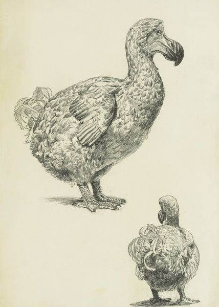 Two studies of the Dodo (Raphus cucullatus) - a flightless bird endemic to the Indian Ocean island of Mauritius, extinct since the mid-to-late 17th century