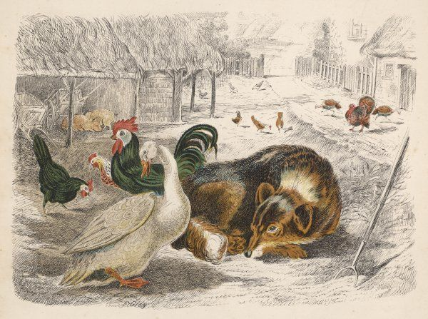 A dog sleeps in a farmyard, surrounded by ducks and hens