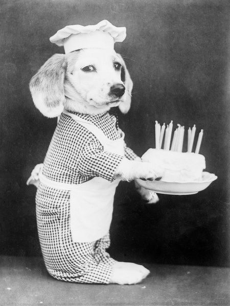 A doggy chef with a birthday cake with lots of candles on it. Date: early 1930s