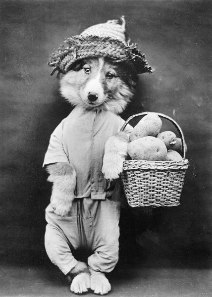 A doggy vendor with a basket of potatoes over one paw! Date: early 1930s