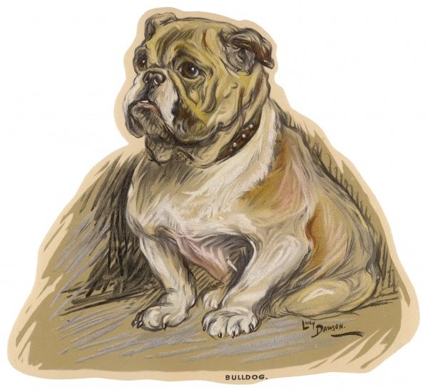 A Bulldog with studded collar, seated