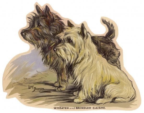 Wheaten and Brindled Cairn Terriers