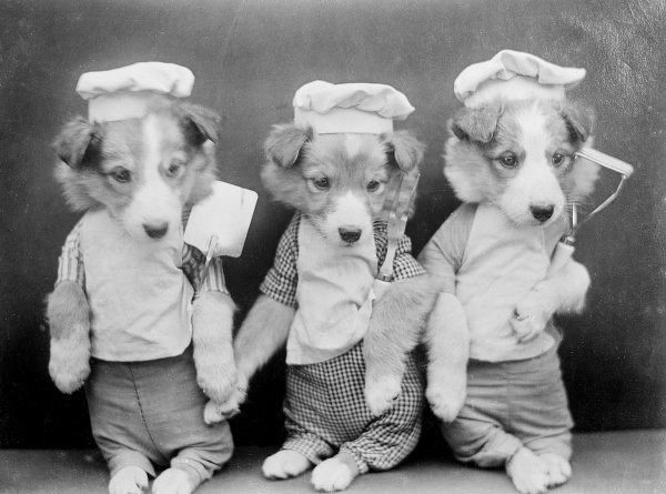 Three doggy chefs in their hats. Date: early 1930s