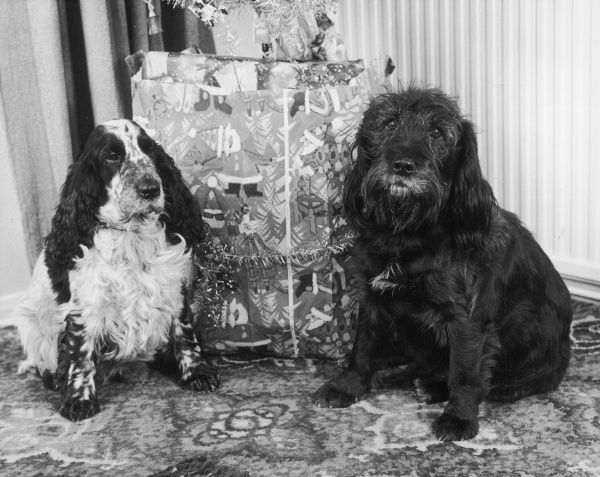 Two dogs - a cocker spaniel and spaniel-type mongrel - sit by the base of a Christmas tree