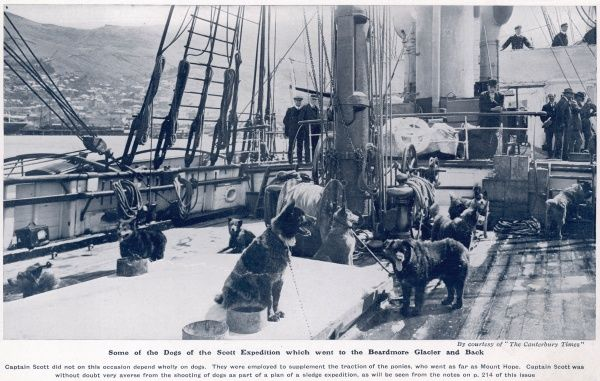 Some of the dogs of the Captain Scott polar expedition to Antarctica, pictured on the deck of the Terra Nova after the vessel's return to Lyttelton, New Zealand in February 1913