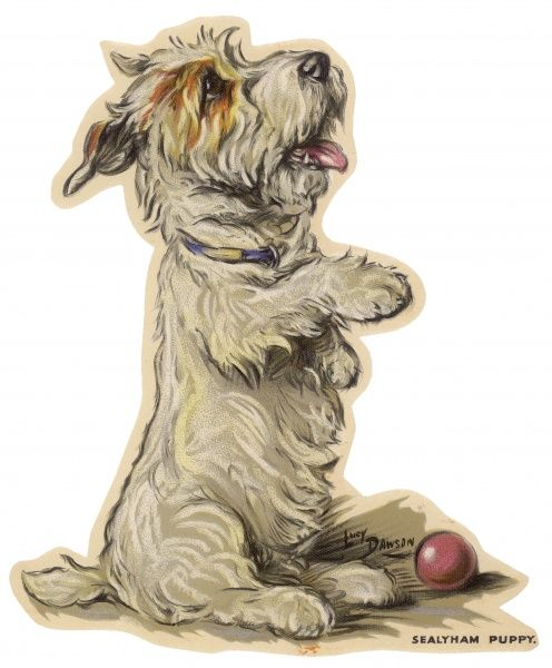 A Sealyham puppy on his hind legs and with a red ball at its feet