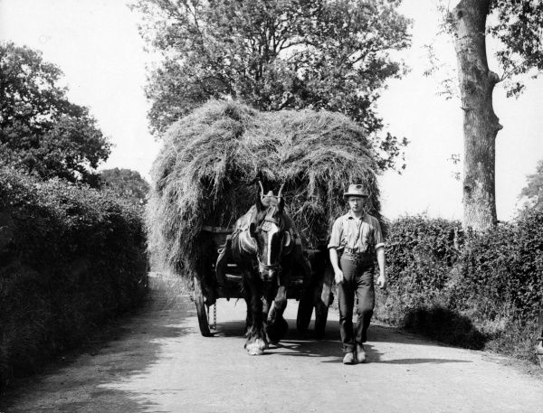 A farmer leading a horse-drawn hay cart (or hay wain) in a country lane in Dorset, England. Date: early 1940s