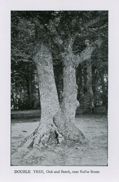 Double Tree (Oak and Beech) near the Rufus Stone, The New Forest