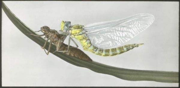 A close-up view of a Dragonfly (Aeshna Cyanea, Southern Hawker) which has just emerged from its exoskeleton or exuvia