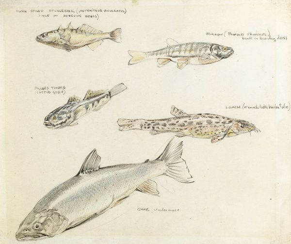 A colour drawing of various fish -- three spined stickleback, minnow, miller's thumb, loach, and char